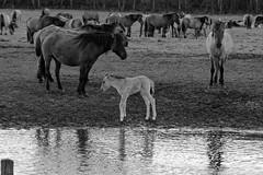 Wild Horses in black-and-white - Bathing - 2016-018_Web (berni.radke) Tags: horse pony bathing herd nordrheinwestfalen colt wildhorses foal fohlen croy herde dlmen feralhorses wildpferdebahn merfelderbruch merfeld przewalskipferd wildpferde dlmenerwildpferd equusferus dlmenerpferd dlmenpony herzogvoncroy wildhorsetrack
