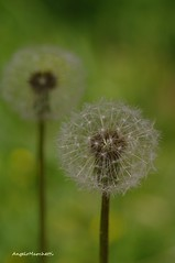 ...    Taraxacum officinale (Plebejus argus) Tags: macro flora italia dei lazio taraxacumofficinale tarassaco compositae soffione tamron90 lepini sezze
