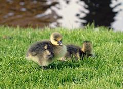 Hyde Hall Goslings! (RiverCrouchWalker) Tags: grass birds gardens spring pond goslings april essex anseranser rhs hydehall 2016 greylaggoose rettendon rhshydehall