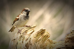 Passer domesticus  [Explored 25/04/2016] (Nickerzzzzz - Thanks for stopping by :)) Tags: house bird nature wings wildlife beak feathers photograph sparrow passerdomesticus rspb nickudy