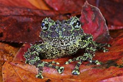 What you looking at :) (Love Lens Life) Tags: pet pets green leaves animal animals moss frog frogs treefrog