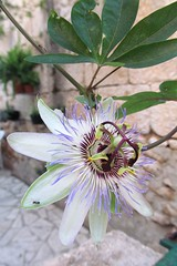 nice flower :) (green_lover) Tags: plants flower croatia passiflora passionflower mczennica