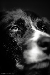 Filip (ShimmeringGrains.com) Tags: blackandwhite bw dog pet eye love film monochrome animal blackbackground analog bc blackdog hund scanned bordercollie halfframe f18 bestfriend zuiko filip bff olddog scannad 5018 dogportrait svartvitt kodaktmx100 dogexpression kodaktmx olympuspenf trueheart halvformat kodakhc110b zuikof olympuszuikof5018