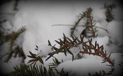 Snowy Branch (hawkmiester55) Tags: snow nature closeup outdoors bush nikon nebraska branch frontyard vignette l330