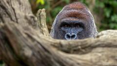 Stealth Mode (Robert Streithorst) Tags: gorilla harambe silverback cincinnatizoo zoosofnorthamerica robertstreithorst