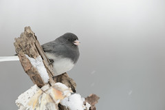 Dark-eyed Juno-46615.jpg (Mully410 * Images) Tags: winter snow cold bird birds backyard junco birding birch birdwatching darkeyedjunco