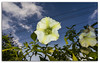 Beautiful Brugmansia (Angels Trumpets) flower looking down at the camera (FotographyKS!) Tags: india white plant flower macro green nature toxic beautiful leaves closeup garden photography leaf dangerous bush flora asia natural bell blossom gardening decorative large trumpet petal tokina foliage exotic tropical bloom environment botanic lime delicate datura wildflower shrubs herb scent kodaikanal fragrance poisonous blooming brugmansia brugmansiasuaveolens angelstrumpet thron toxicity beautyinnature photoborder tokina1116mmf28 1116mmf28