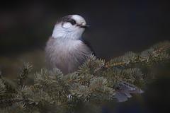 Gray jay (Phiddy1) Tags: ontario canada birds algonquin grayjay