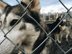 Waiting for Winter (RoxieELute) Tags: winter dog gate sweden sledding huskie absiko