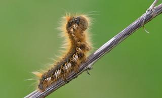 Drinker Larva (Euthrix potatoria)