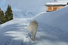 Just a short walk to the first cabins (balu51) Tags: schnee winter dog white mountain landscape cabin walk windy berge hund landschaft januar kuvasz spaziergang winterlandscape htten 2016 graubnden nachmittag windig copyrightbybalu51
