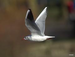 Black-headed Gull Vancouver BC  (EXPLORE) (miketabak) Tags: