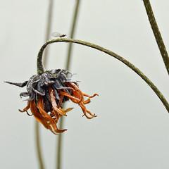 THE MIDGE ON A BRIDGE (ben.fossey) Tags: flower fleur plante death gris mort extrieur tristesse ligne midge diagonale graphique destine tige fane vieillissement moucheron bndictefossey