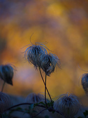 Hairy (AJ.L) Tags: ireland hairy dublin orange plant color out focus estate bokeh olympus airfield hairs dundrum em5