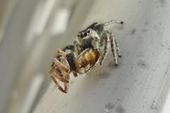 Saltique (aurelienouri) Tags: spider araigne arachnide saltique