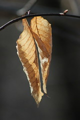 Leaves (historygradguy (jobhunting)) Tags: ny newyork leaves leaf upstate dutchesscounty hudsonvalley beekman lagrangeville