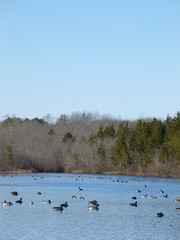 Canadian geese (Mullica) Tags: park county new winter food lake bird nature water outdoors geese pond flock hunting nj canadian jersey salem wetland gaggle parvin