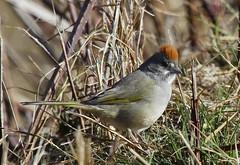 IMG_0004-1 Green-tailed Towhee (John Pohl2011) Tags: bird canon 100400mm perching t4i 100400mmlens canont4i