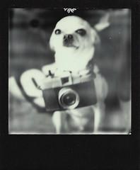the tiniest shutterbug (EllenJo) Tags: blackandwhite bw dog pet chihuahua simon polaroid sx70 february6 2016 polaroidlandcamera tinycamera instantfilm cheapplasticcamera ellenjo ellenjoroberts impossibleproject theimpossibleproject camerasquirtgun littledoglaughednoiret