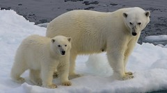 Polar Bear - Ursus maritimus  (Greenland) (47) (Richard Collier - Wildlife and Travel Photography) Tags: wildlife polarbear arctic arcticwildlife greenland marinemammals naturalhistory bears ngc coth5