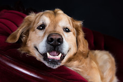 Smiley Bentley (Jen St. Louis) Tags: dog pet ontario canada smiling goldenretriever studio happy elmira pawprints bentley dogphotography redcouch petportrait petphotography dogportrait nikon2470 nikond750 wwwpawprintsphotosca