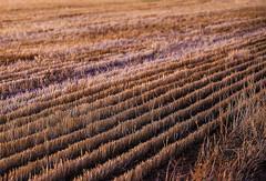 straw at sunset (robertmilesdesign) Tags: landscape australia australianlandscape