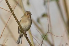 pinson des arbres_ (Djokkos) Tags: bird oiseau fringillacoelebs commonchaffinch pinsondesarbres fringillids passriformes