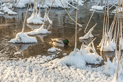 Duck on the winter river (AudioClassic) Tags: snowflake winter sunset sunlight mist snow cold ice nature fog forest reflections river outdoors photography duck estonia day nopeople falling fairy blizzard baretree glade firtree icecrystal tranquilscene beautyinnature nonurbanscene