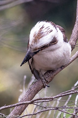 Laughing Kookaburra (HenryHutter) Tags: park wild bird nature wildlife we perth kingfisher westernaustralia kookaburra ozzie
