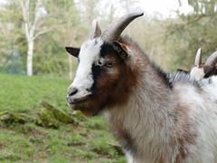 (jean.trouble) Tags: bridge winter white france grass animal lumix hiver nuts panasonic blanc dmc herbe chvre naine fz1000