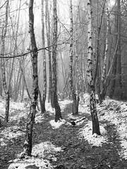 Criss-crossed (Matthew Nuttall Photography) Tags: winter bw snow tree monochrome woodland path tracks northumberland hexham