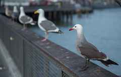 Line up (Tianqiang) Tags: sanfrancisco california unitedstates seagull line depthoffield diagonal