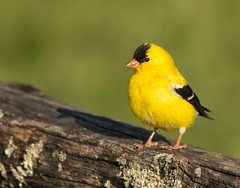 Goldfinch Staredown (The Shared Experience) Tags: usa bird goldfinch americangoldfinch d800 2014