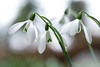 Snowdrops (2/4) (.mushi_king) Tags: flowers closeup bulb spring fuji nt snowdrops nationaltrust snowdrop angleseyabbey 500d diopter 56mm dioptre