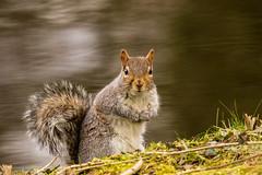 Grey Squirrel (mlomax1) Tags: bird nature canon mammal squirrel wildlife feeder bluetit wwt wirral greysquirrel rspb deeestuary burtonmere eos600d