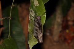 Giant Redeye (Gangara thyrsis) (moloch05) Tags: malaysia taman negara