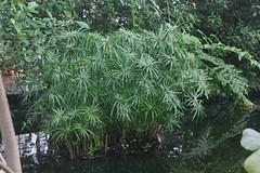Zyperngras (Cyperus alternifolius) (blumenbiene) Tags: plant umbrella garden botanical pflanze palm leipzig papyrus garten boga sedge botanischer zyperngras cyperus alternifolius