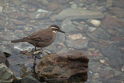 Dark-bellied Cinclodes (Cinclodes patagonicus)
