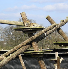 Leopard Heights (LittleEvelynnMakes) Tags: park comfortable zoo climb outdoor wildlife yorkshire chillin spots lazy leopard heights plinth doncaster