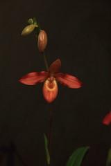 phragmipedium Mem. Dick Clementis (zet11) Tags: orchid kwiat storczyk czerwony