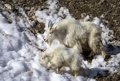 Nanny Goat and Kid (Happy Photographer) Tags: winter mountain snow wildlife goat wyoming amyhudechek