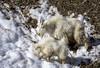 Nanny Goat and Kid (Happy Photographer) Tags: winter mountain snow wildlife goat wyoming amyhudechek