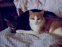 Protector (rootcrop54) Tags: friends chat otis kitteh cousin  macska gatto katzen kot koka kedi katt kissa kttur maka kucing   kat  maek kais pisic gorbe otismaleorangetabby cousinmaletabby