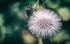 Soffione (Giuseppe Tripodi) Tags: flower macro green bokeh bokehwhores