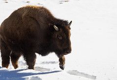 young bison (rlonas) Tags: winter snow male buffalo horns yellowstone bison juvenile img9621jpg