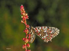 (diegocon1964) Tags: lepidoptera papilion zerynthia parnassiinae zerynthiarumina rumina luehdorfiini