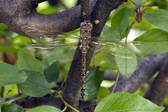 Afternoon nap (Jeff Mitton) Tags: insect dragonfly wondersofnature earthnaturelife