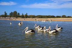LR-160316-060.jpg (Finert) Tags: theentrance friendlyflickr pelicanfeeding 160316