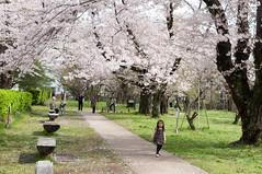 Kodokan Park (Wunkai) Tags: japan  cherryblossom sakura    ibarakiken mitoshi sannomaru   kodokanpark