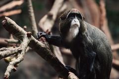 De Brazza's Monkey (Garret Voight) Tags: nature minnesota animal mammal zoo monkey wildlife primate applevalley debrazzasmonkey tropicstrail